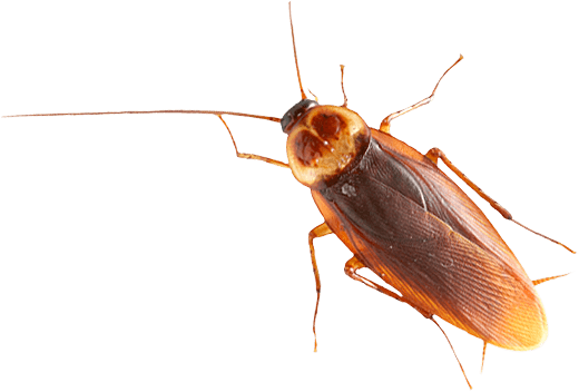 Se débarrasser des cafards et blattes Hénin-Beaumont