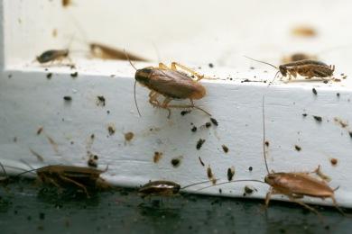 cafards blattes Se débarrasser des cafards et blattes Hénin-Beaumont